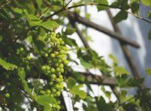 abiding in him vine branch